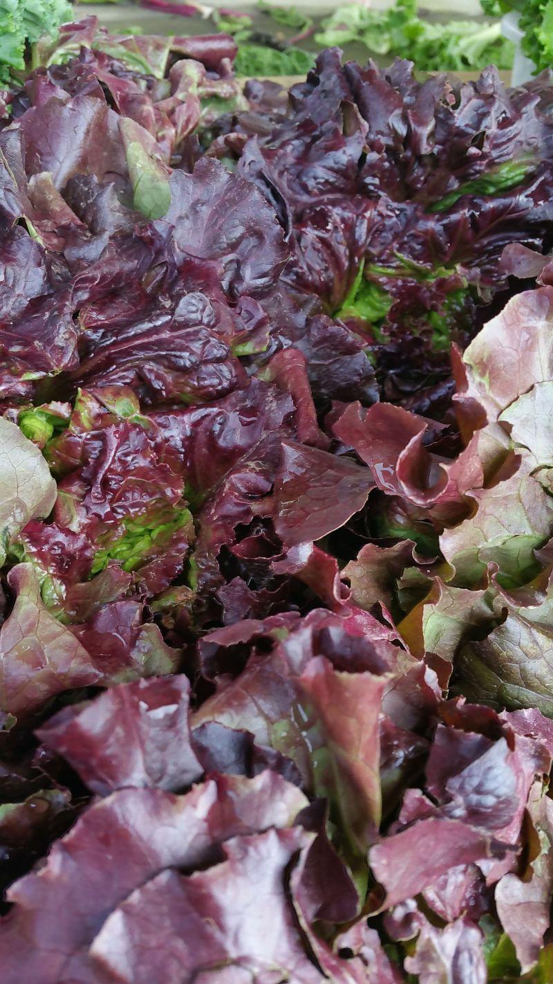 grana lettuce long season